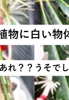 我が社の観葉植物に白い物体が・・・その正体は〇〇だった!?